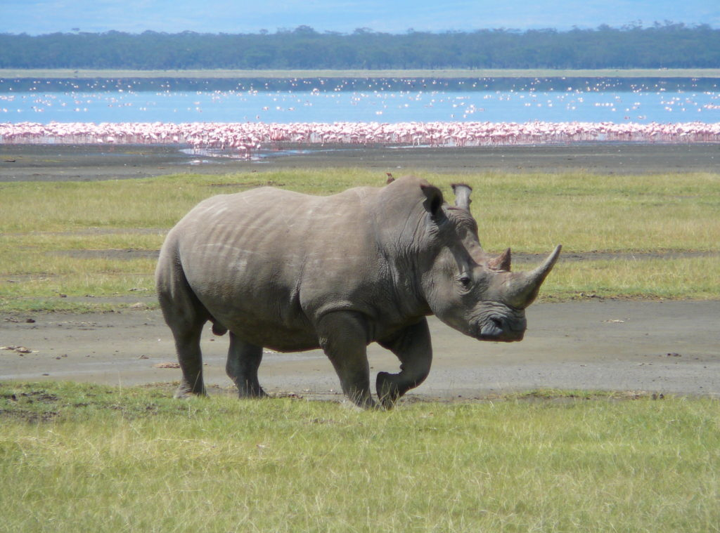 Humans on the verge of driving yet another magnificent animal to extinction